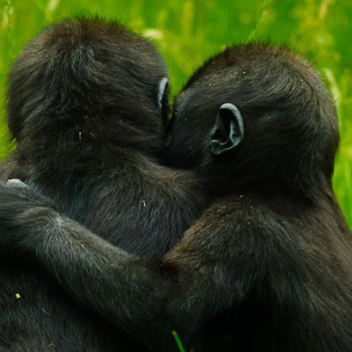 20 Perfect Gifs To Express Your Love Animals Are Beautiful People Baby Gorillas Animals Beautiful