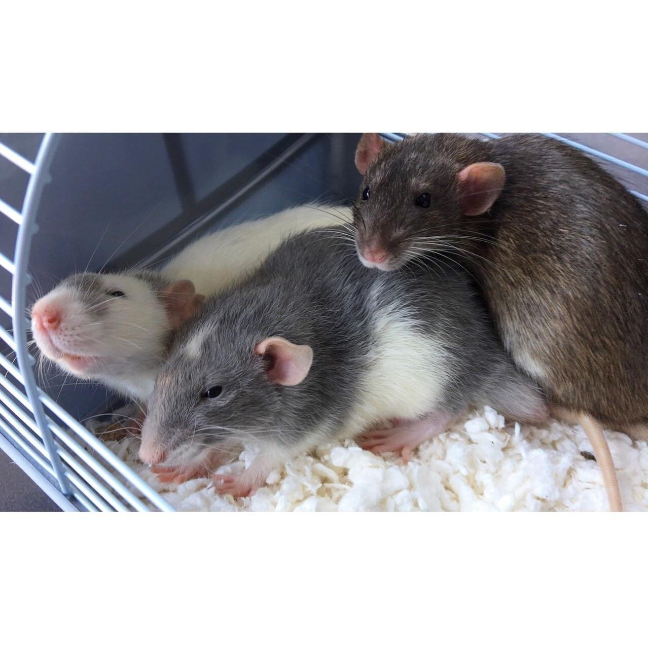 Pin de •  ή ɪ ɔ ɪ  • en Ratties!! ❤   Pinterest   Animales