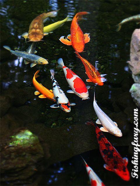 Koi pond fishing fury water features pinterest for Japanischer kampffisch