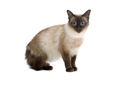 Balinese Cat Fancy Gato siames, Gatos, Siames