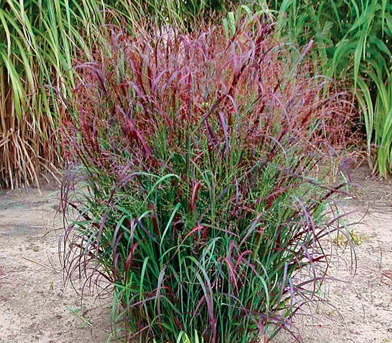 Native Grasses Finegardening Grasses Landscaping Ornamental Grasses Landscaping Plants