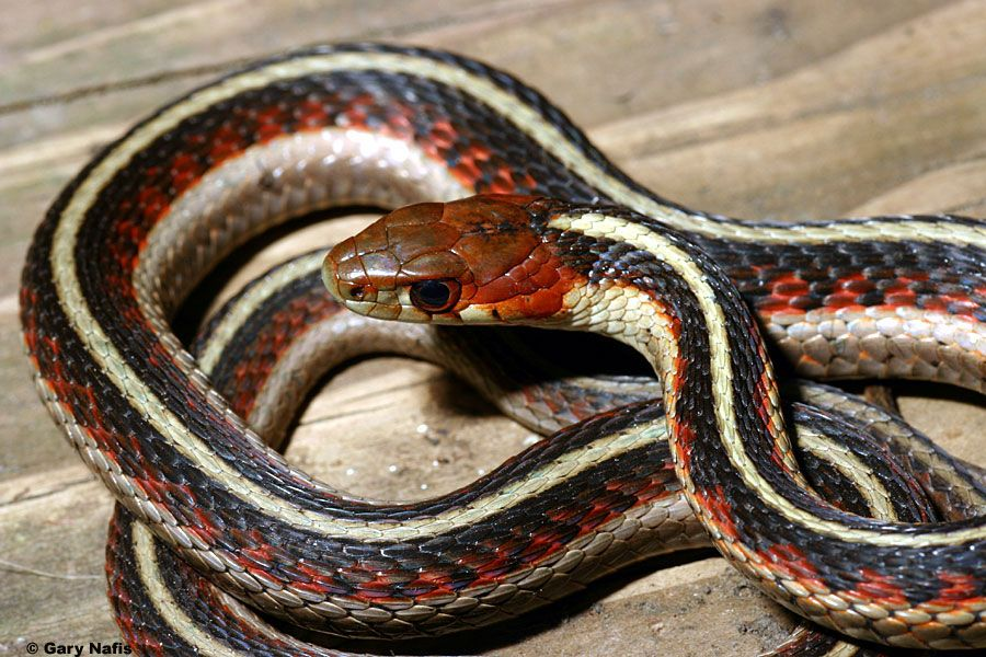 California Red Sided Gartersnake Thamnophis Sirtalis Infernalis Reptiles And Amphibians Reptiles List Of Animals