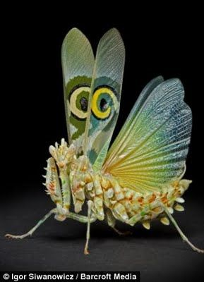 Praying Mantis With Wings Open Insects Animals Beautiful