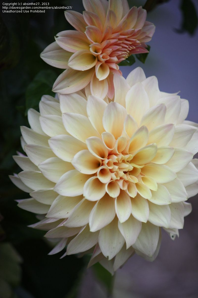 Decorative Dahlia 'Miss Amara'