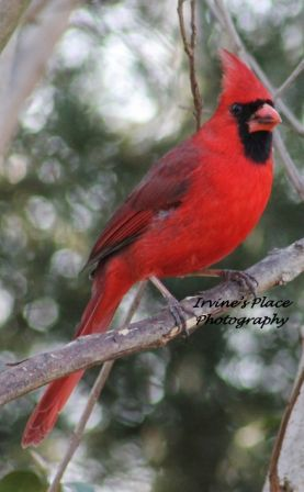 Male Cardinal.  Photo by Rachael Irvine, Irvine's Place Photography