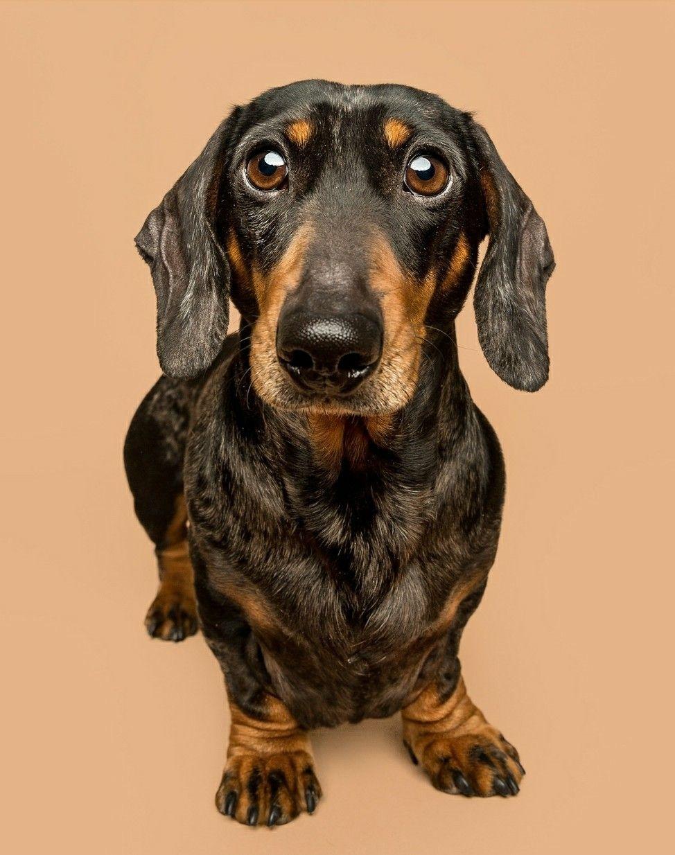 Dachshund Dog Art Dog Portraits Dachshund Dog