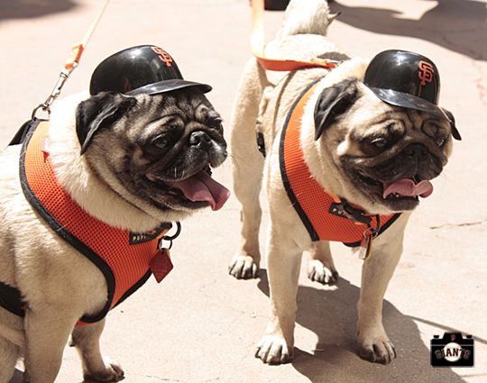 San Francisco Giants Pugs At Dog Days Of Summer Dogs Pugs