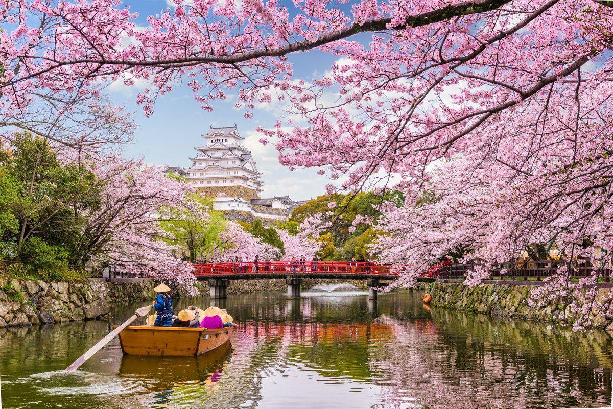 Cherry Blossoms Japan Japan Japanese Flowers Cherry Blossom