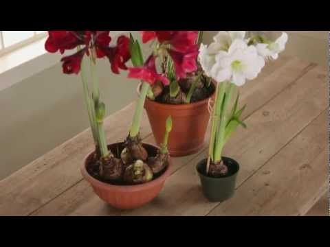 ▶ Home Garden - How to Plant Amaryllis - YouTube
