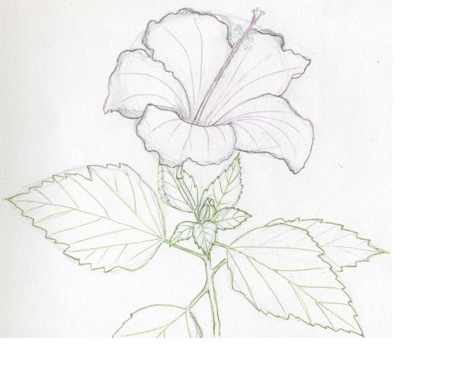 How To Draw A Hibiscus Flower Flower Drawing Tutorials Flower