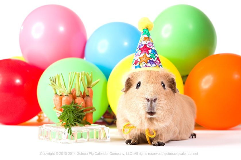 Pin On Guinea Pigs Happy Birthday