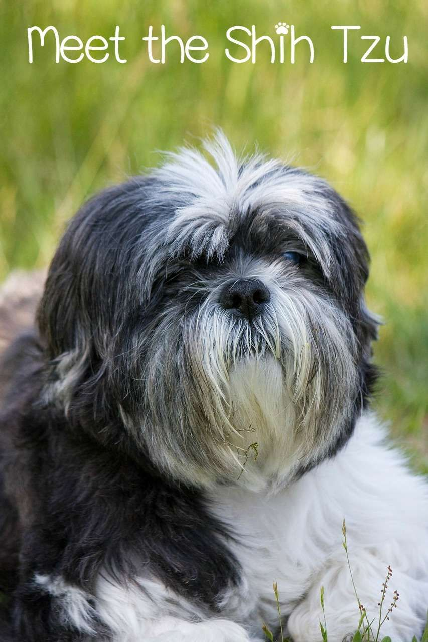 Meet The Shih Tzu The Ultimate House Dog Toy Dog Breeds Dog