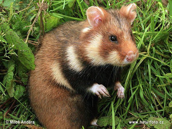 Imgur Com Animals Wild Animals Hamster