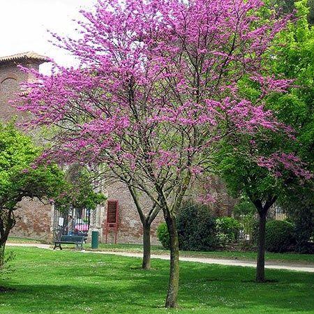 Arbre de jud e jardin pinterest terrasse jardin paradis et jardins - Quel arbre dans mon jardin ...