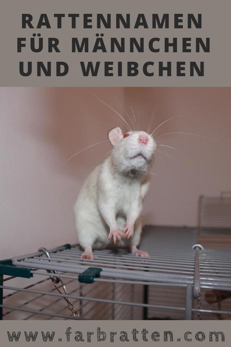 Rattennamen Mit Bedeutung Fur Mannchen Und Weibchen Mit