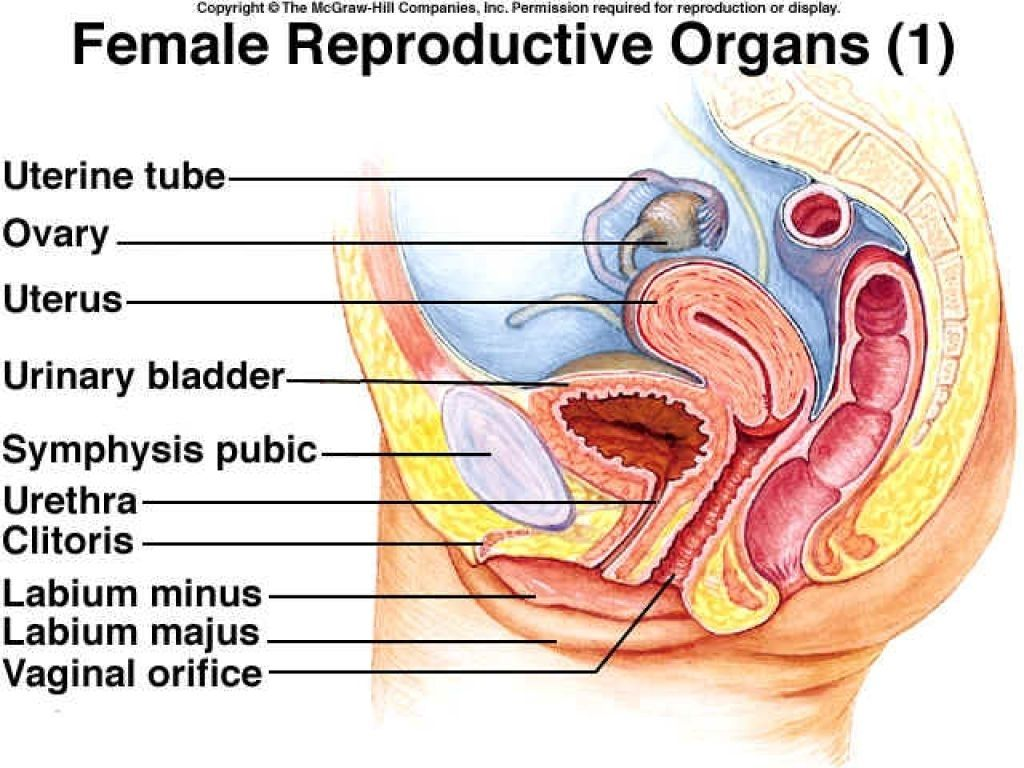 Diagram Of Female Internal Organs Human Anatomy Pictures