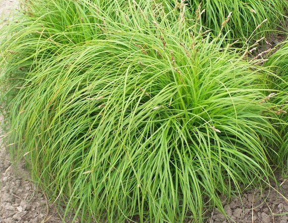 turzyca wiosenna  - carex bronze reflection