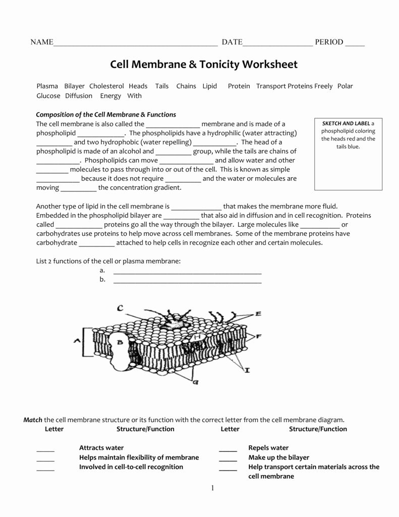 Cell Transport Worksheet Answers Unique Cell Membrane ...