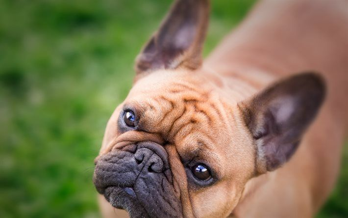 Download Wallpapers French Bulldog Muzzle Blur Cute Animals