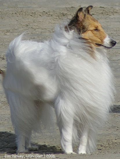Beautiful White Collie Rough Collie Shetland Sheepdog Sheltie Dogs
