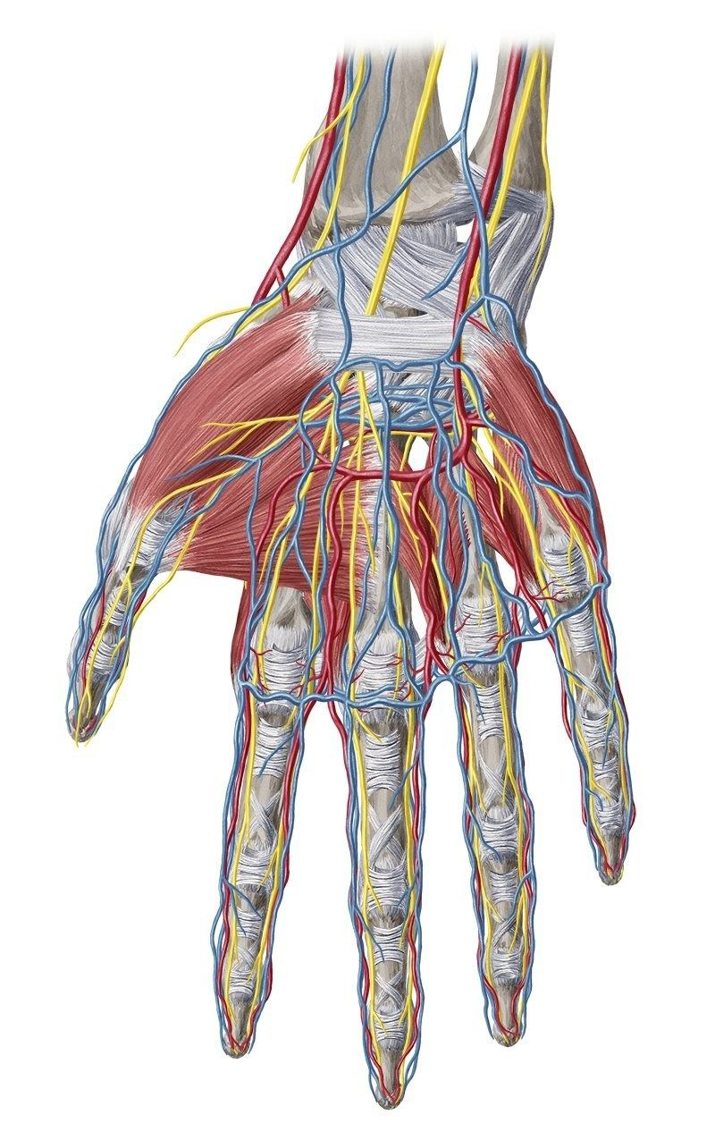 Anatomy study guide wrist and hand anatomy study guide