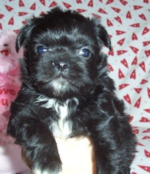 Pug Cross Shih Tzu Black Pug Puppies Dog Breeds Pug Cross