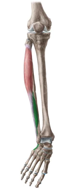 Vista 2 Peroneo lateral corto | tappin tendon | Pinterest | Vistas ...