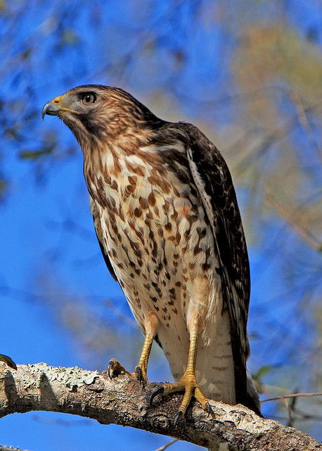 Red shouldered hawk in Myaaka River State Park, Floirda.