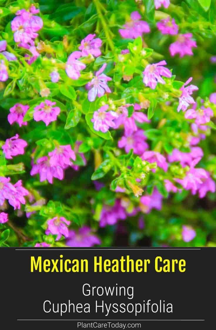 Care Of Mexican Heather How To Grow Cuphea Hyssopifolia In 2020 Cuphea Plant Heather Plant Plant Care