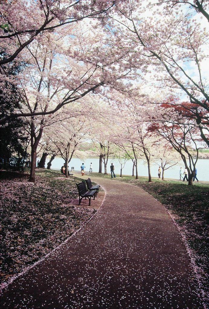 Cherry Blossom Festival Tidal Basin Washington D C Usa Nature Photography Landscape Scenery