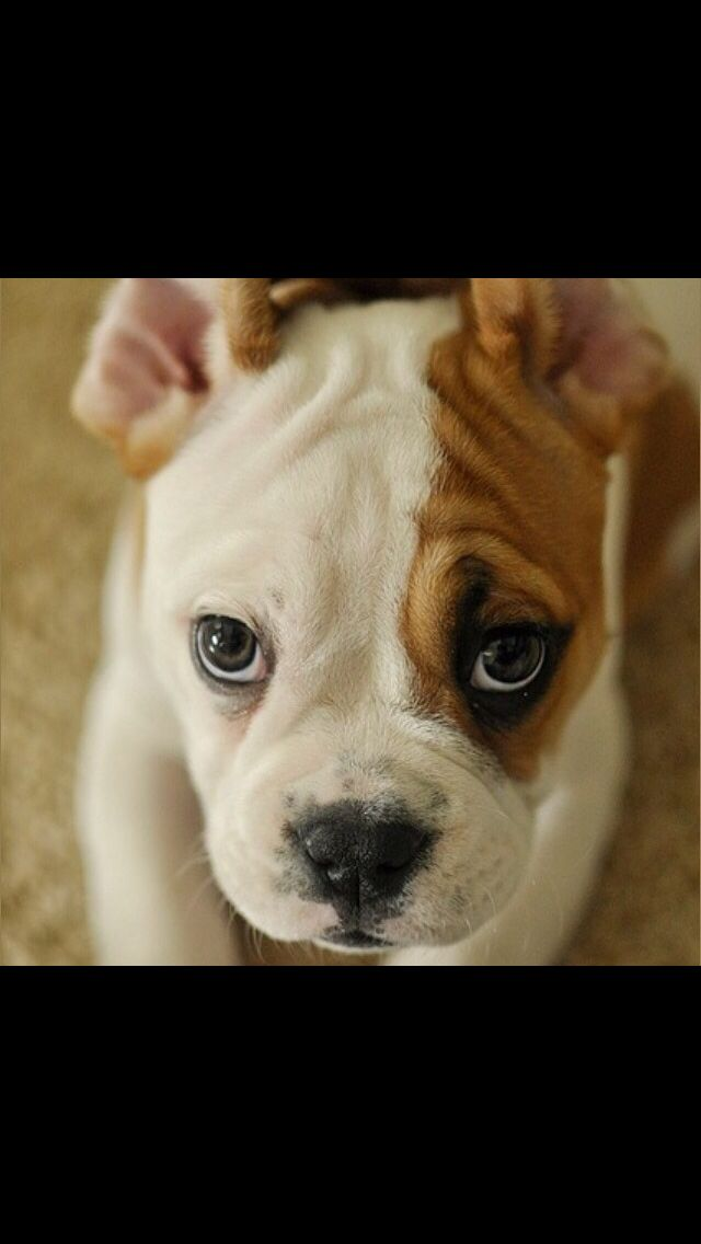 Pin By Ms Mitchell On Puppies American Bulldog Puppies Cute