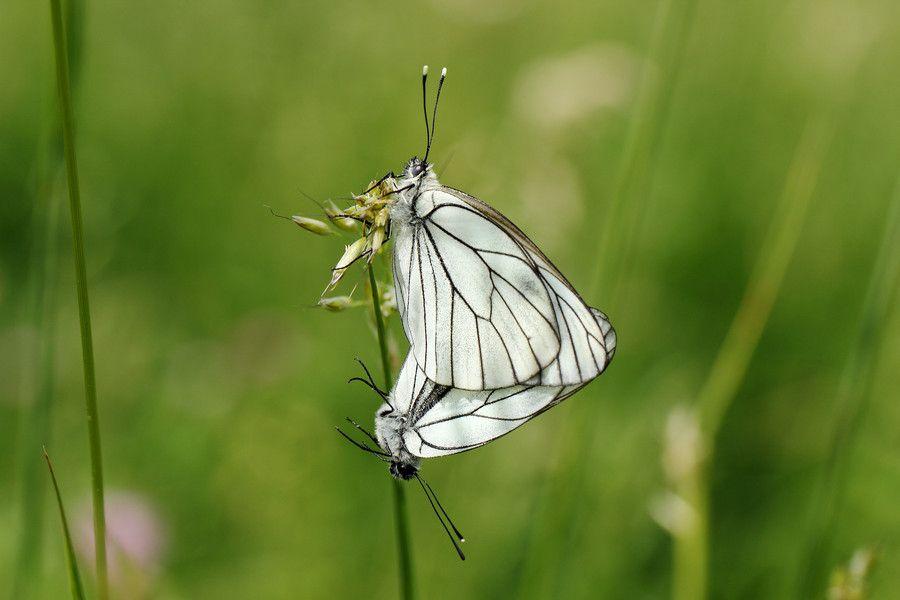 Black-veined White by Ralf Muhl on 500px
