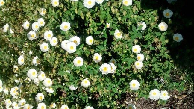 Flor da jara