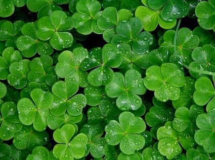 Take A Spin At The Luck O The Irish Wheel Of Fortune Beautiful Flowers Pictures Shamrock Wallpaper Most Beautiful Flower Pictures