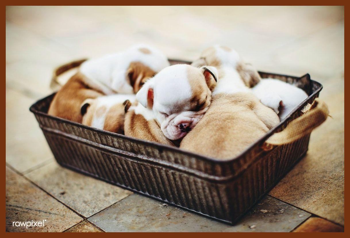 Chihuahua Puppies For Sale Columbus Ga Ideas