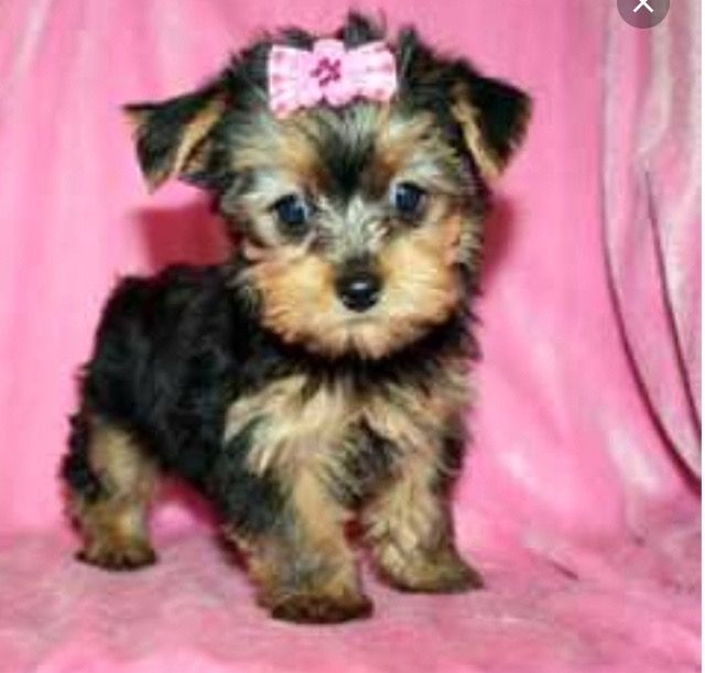 Pin by ReeseJoelle on Animals Yorkshire terrier puppies