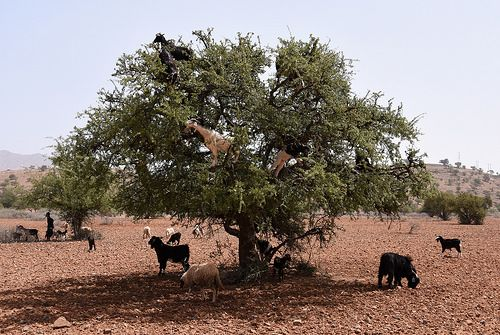 Morocco tamri-goats in Argan-tree -