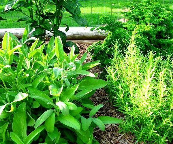 Plants In The Nursery   Herb Knot Garden Design   Outdoor Herb Garden   Herb  Garden