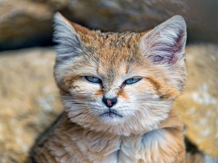 Aussi mignons jeunes qu'adultes, les chats de cette espèce rare vont vous faire fondre !