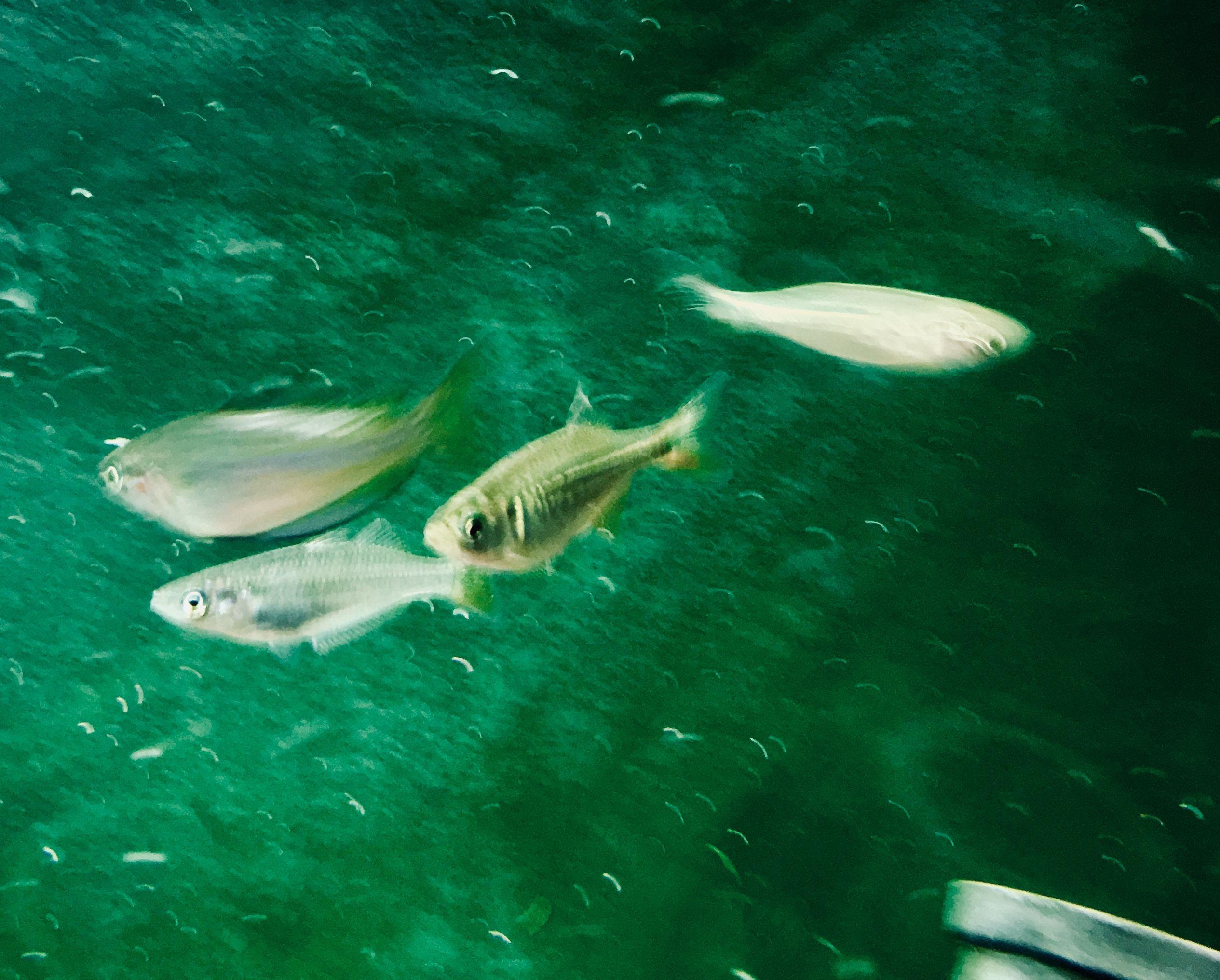 Giant Danios and Australian Rainbowfish Dither fish