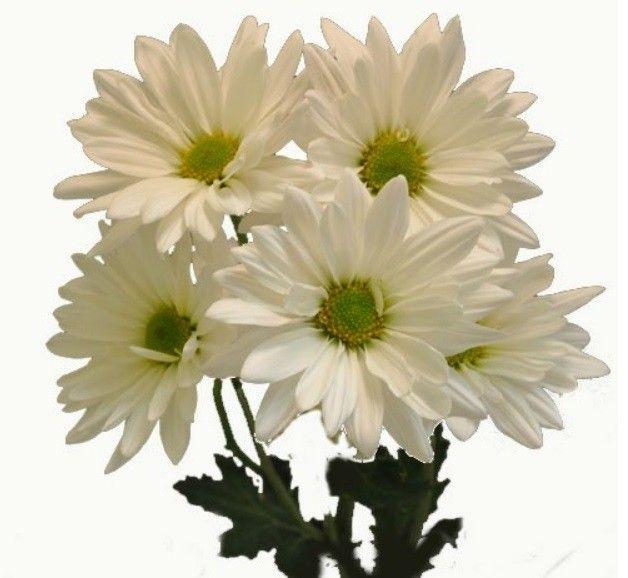 503 Service Unavailable Daisy Chrysanthemum Beautiful Flowers