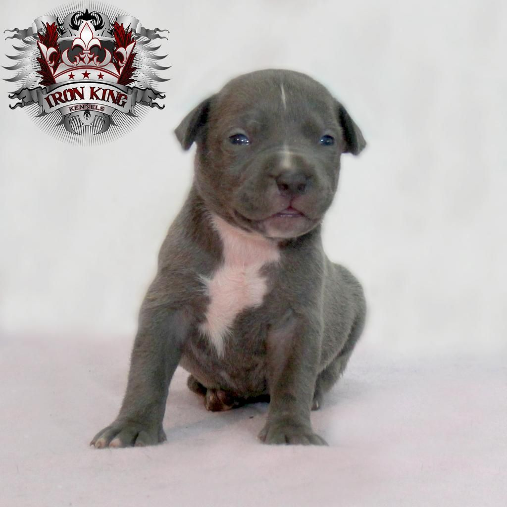 Female Off Lava And Moose At 3 Weeks Bluenose Pitbull Puppy