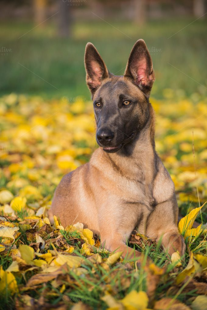 Belgian Malinois Dog In Yellow Leave Belgian Malinois Dog Malinois Dog Belgian Malinois Puppies