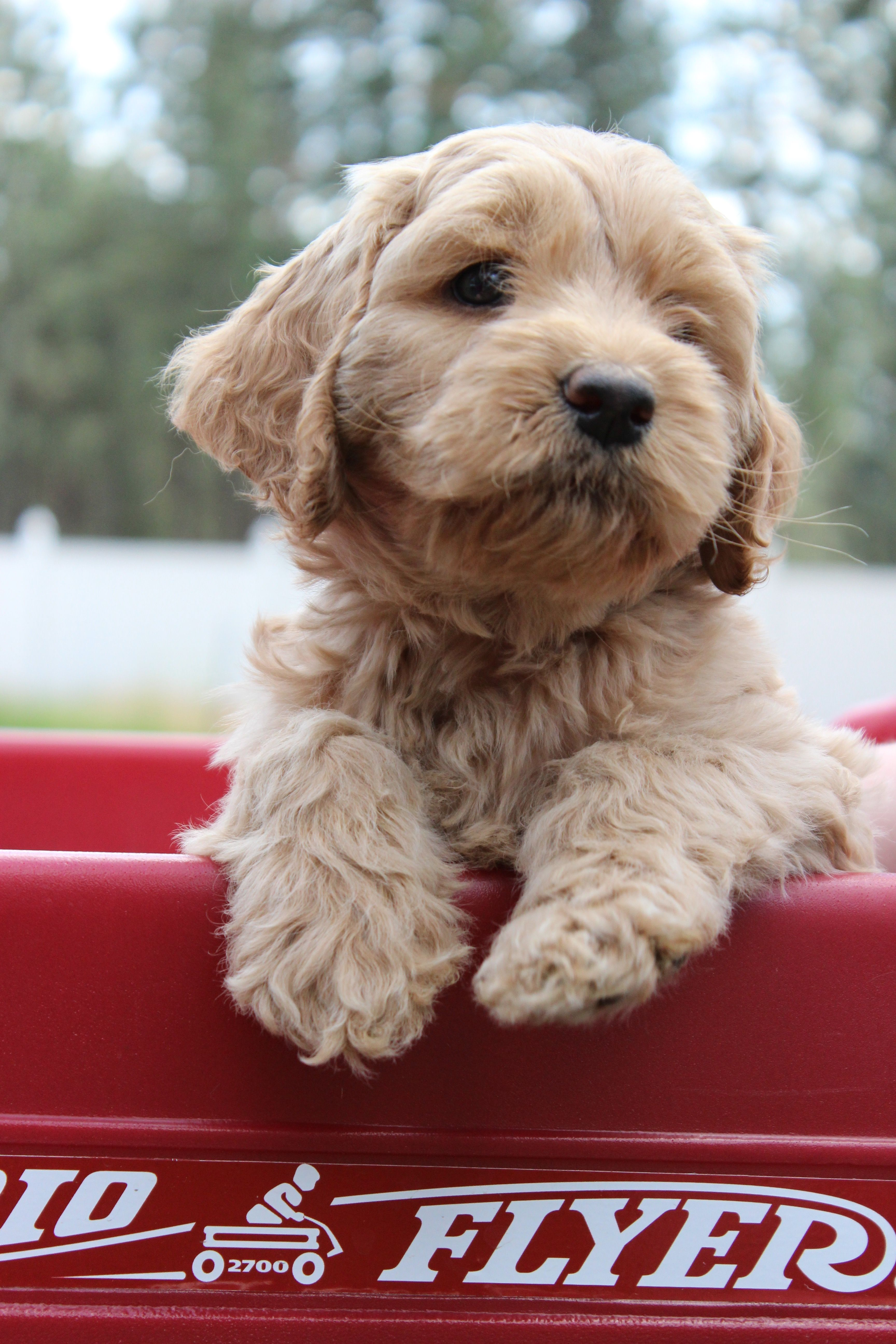 Labradoodle Puppy From High Country Labradoodles Labradoodle Puppy Labradoodle Goldendoodle Puppy