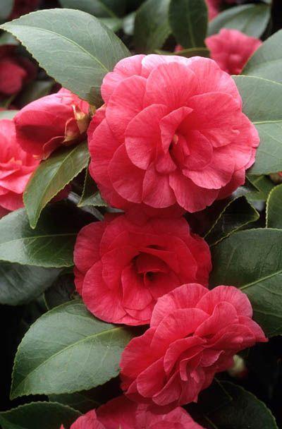 Camellia Japonica Compte De Gomer Fotografia De John Glover Uno De Los Primeros Y De Los Mas Importantes Fo Beautiful Flowers Camellia Flower Pretty Flowers