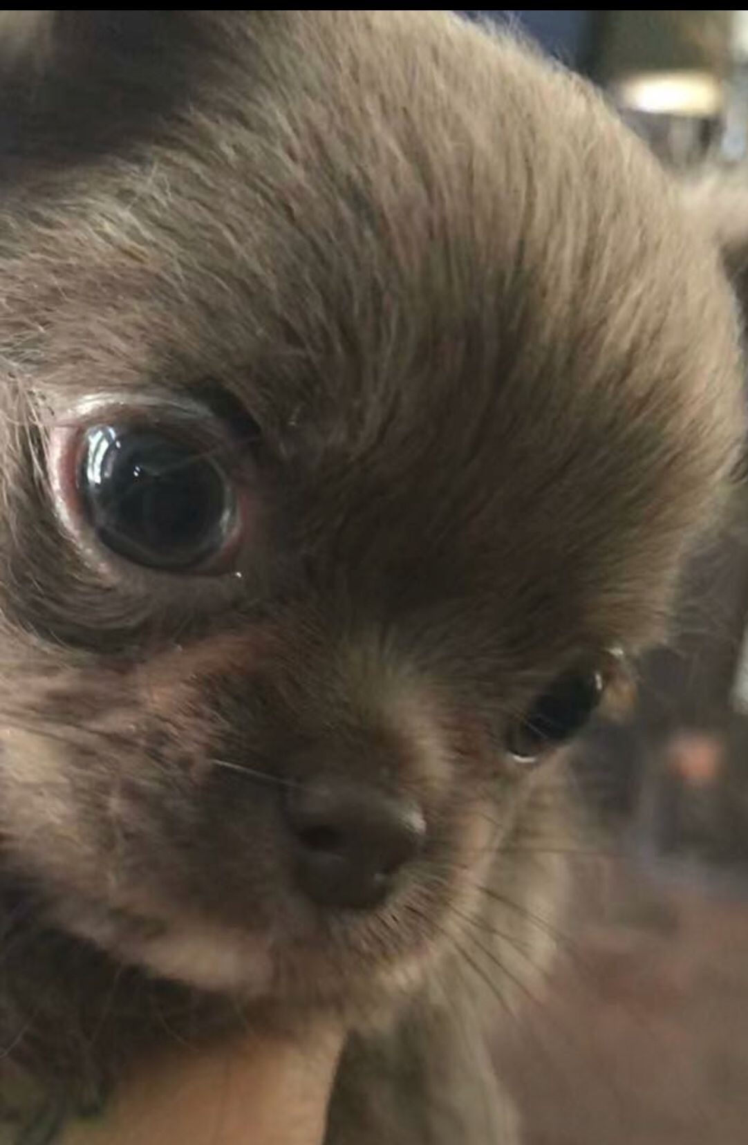 Blue Chocolate Tiny Chihuahua From Las Vegas Breeder Chihuahua