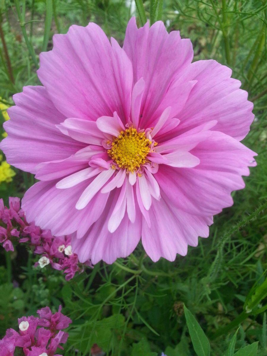 Pin De Cheri Falk Em Carefree Cosmos Em 2020 Flores Maravilhosas Flores Imagens