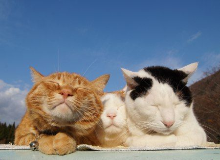 Kitteh brotherly love. Shironkeo, Toro, Chibi and Mimi.