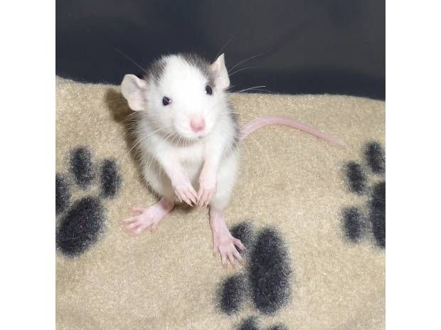 Rats Cute Babies Blue Black Roan Dumbo Wythall B90 Baby Rats Pet Rats Pet Mice
