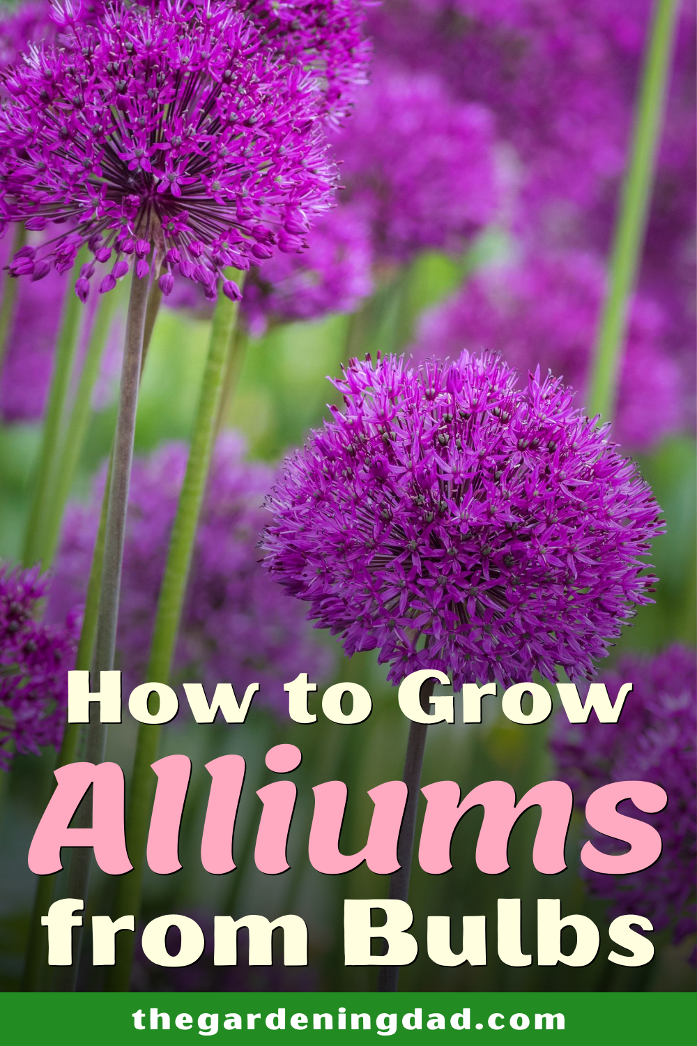 How To Grow Ornamental Allium For Beginners The Gardening Dad In 2020 Planting Flowers 101 Gardening For Beginners Garden Planning Layout